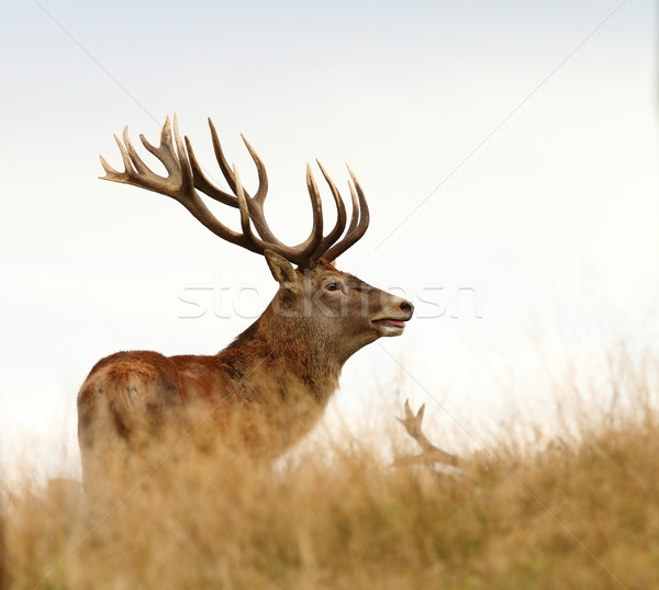 male cervus elaphus in mating season Stock photo © taviphoto