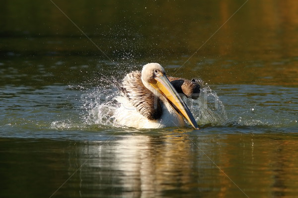 juvenile pelican playing on water Stock photo © taviphoto