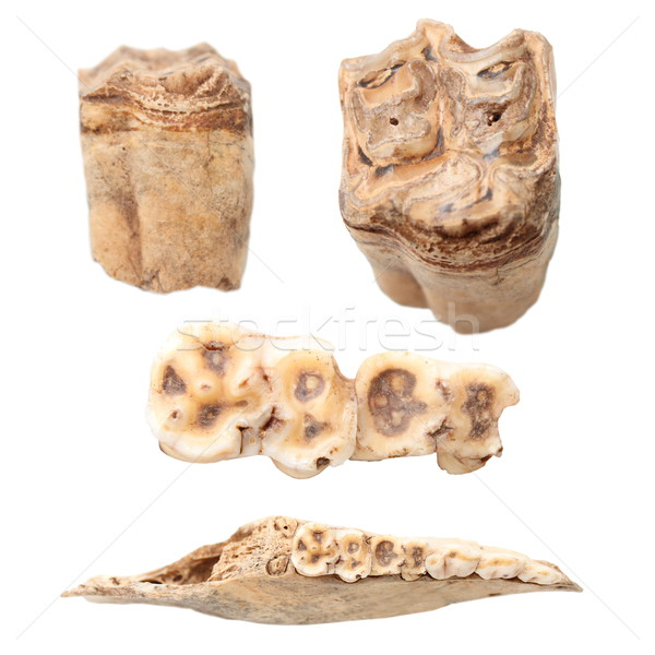 animal teeth and mandible over white Stock photo © taviphoto