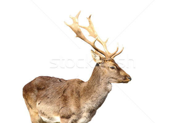 isolated young fallow deer male Stock photo © taviphoto