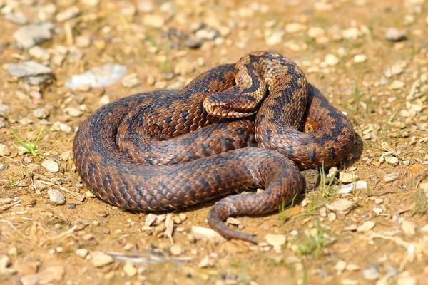 Europeo serpiente venenoso suelo naturaleza hermosa Foto stock © taviphoto