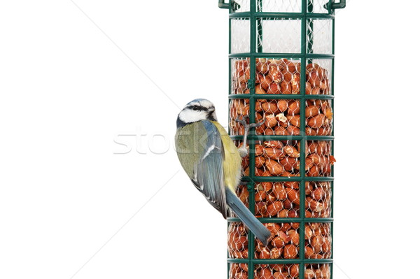 isolated hungry blue tit Stock photo © taviphoto