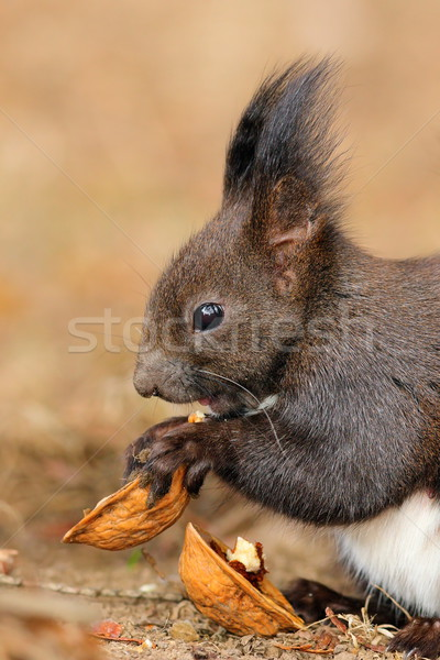 cute little red squirrel eating nut Stock photo © taviphoto