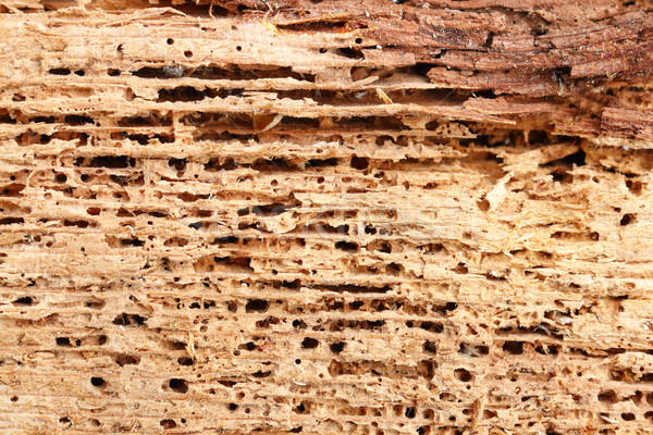detail of fir wood damaged by fungus and insects Stock photo © taviphoto