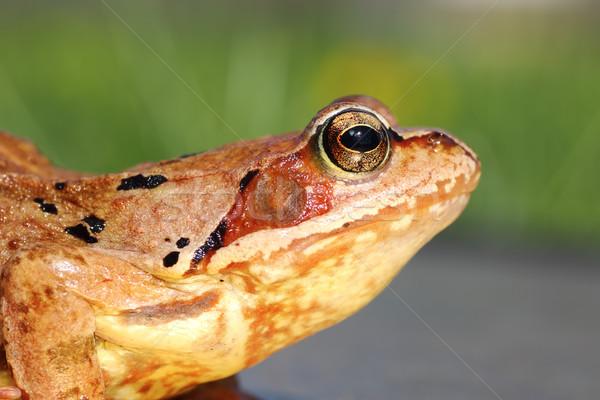 common frog profile view Stock photo © taviphoto