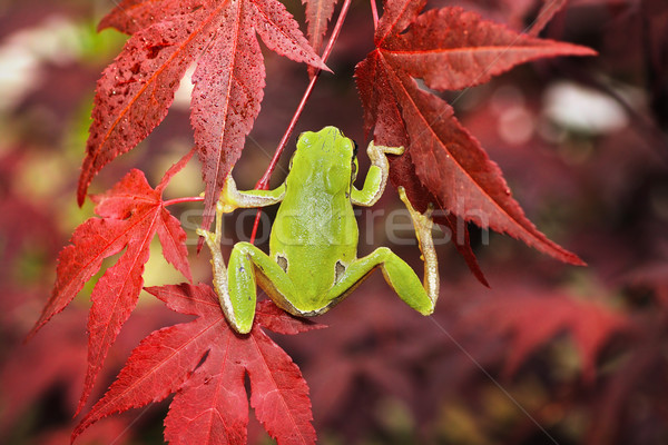 green tree frog climbing on japanese maple Stock photo © taviphoto