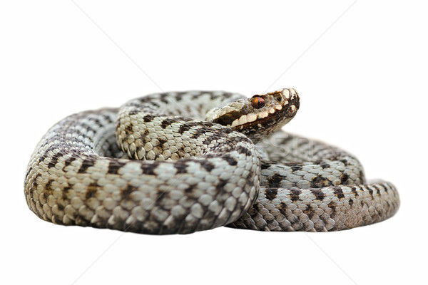 isolated male common crossed viper Stock photo © taviphoto