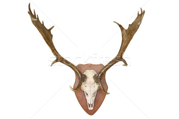 majestic fallow deer hunting trophy over white Stock photo © taviphoto
