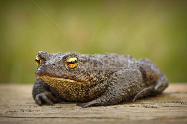 european brown toad on wooden board Stock photo © taviphoto
