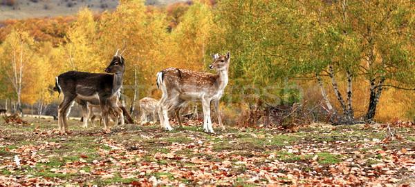 fallow deer herd in autumn Stock photo © taviphoto