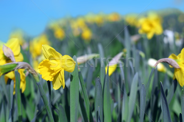 group of yellow narcissus Stock photo © taviphoto