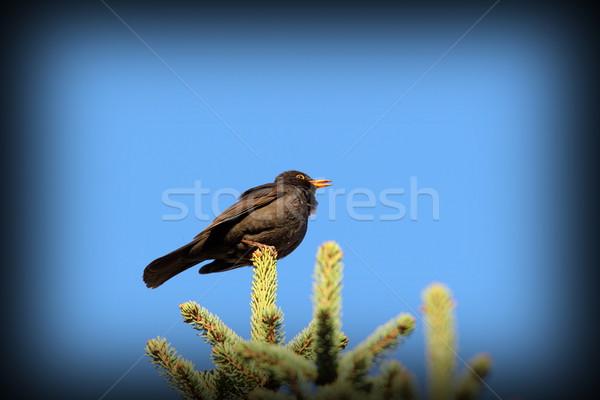Homme blackbird chanter printemps haut Photo stock © taviphoto