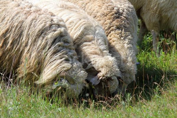 grazing sheep Stock photo © taviphoto