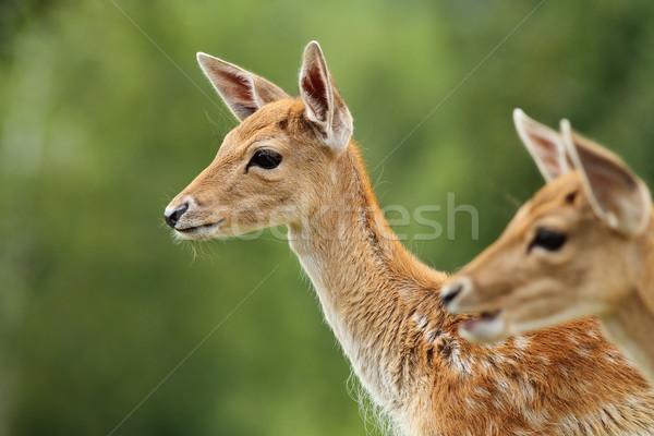 fallow deer calf over green background Stock photo © taviphoto