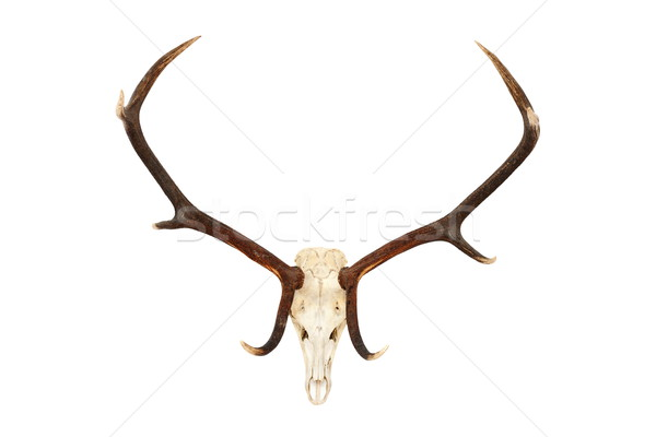 big red deer hunting trophy Stock photo © taviphoto