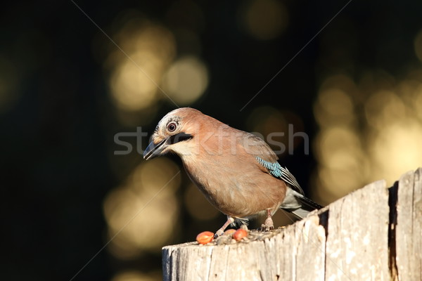european jay on a stump Stock photo © taviphoto