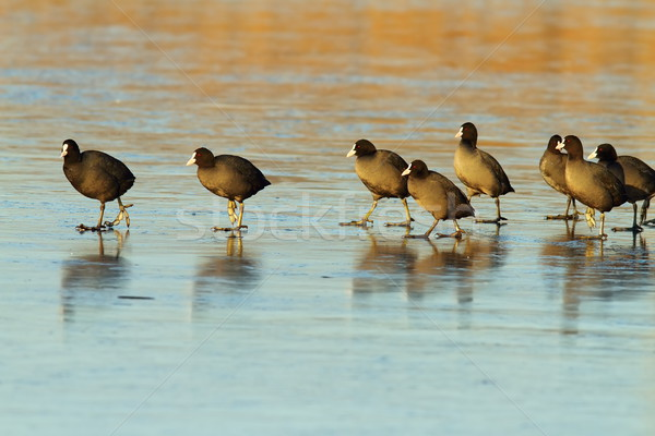 flock of cute coots on icy lake Stock photo © taviphoto