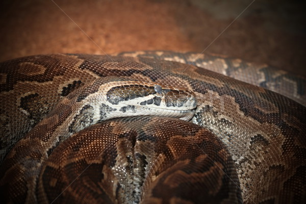 Python portrait africaine Rock serpent beaucoup Photo stock © taviphoto