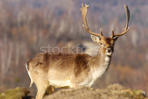 beautiful fallow deer stag in clearing Stock photo © taviphoto