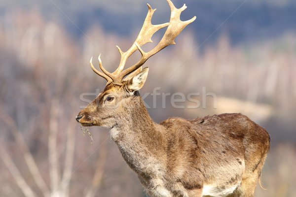 close up of fallow deer stag in a clearing Stock photo © taviphoto