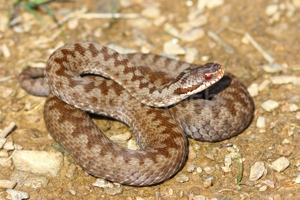 colorful female crossed viper Stock photo © taviphoto