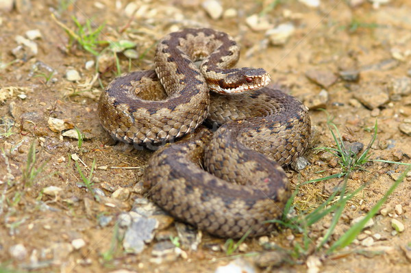 european common adder on the ground Stock photo © taviphoto