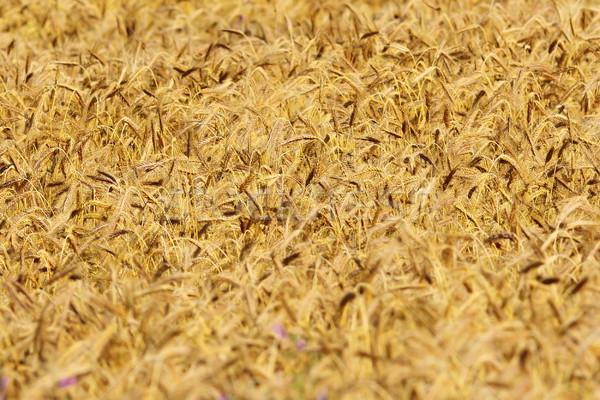 Mintázott búzamező részlet tele megnőtt nyár Stock fotó © taviphoto