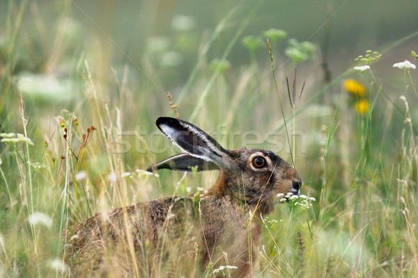 коричневый европейский заяц сокрытие большой Сток-фото © taviphoto