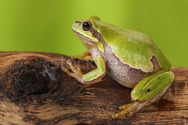 female tree frog Stock photo © taviphoto