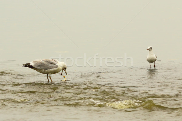 caspian gull at the fishing spot Stock photo © taviphoto