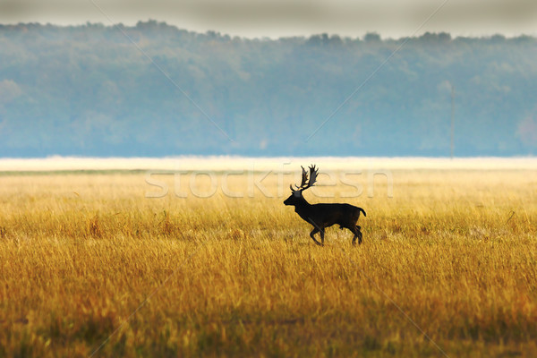 Stock photo: fallow deer buck in morning light