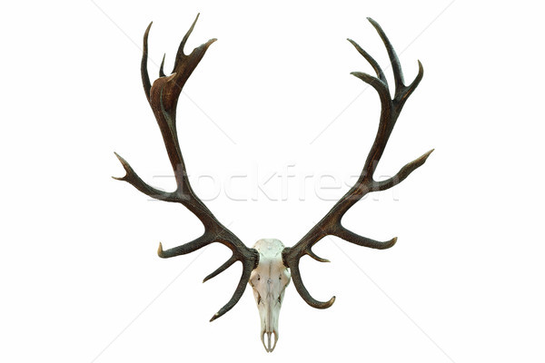 huge red deer skull with beautiful antlers Stock photo © taviphoto