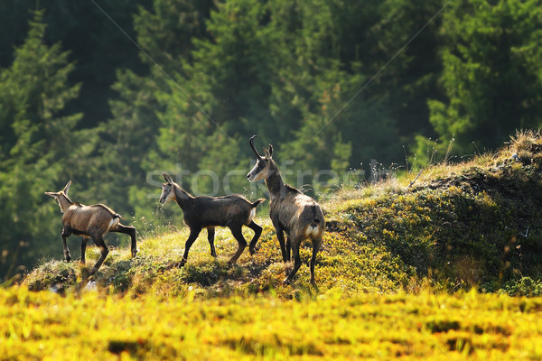 chamois herd in the mountains Stock photo © taviphoto