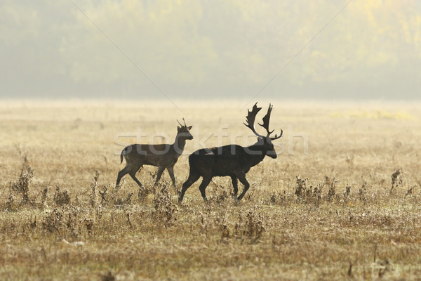 fallow deers in mating season on meadow Stock photo © taviphoto
