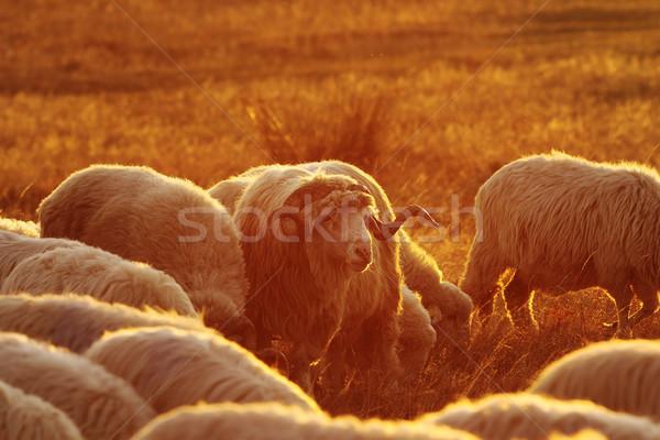 Nagy kos birka nyáj fehér színes Stock fotó © taviphoto
