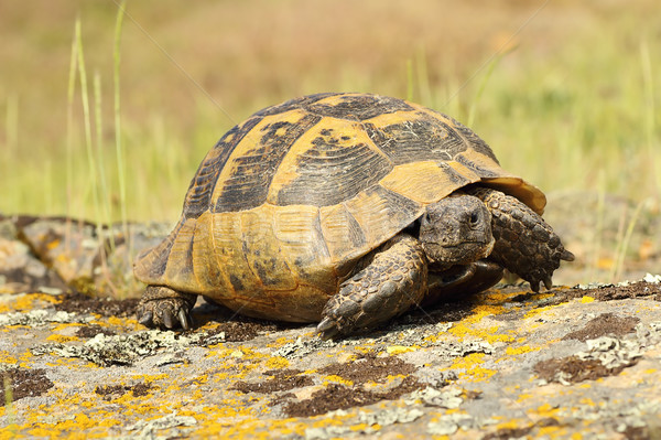 Stock photo: spur-thighed tortoise walking on a rock