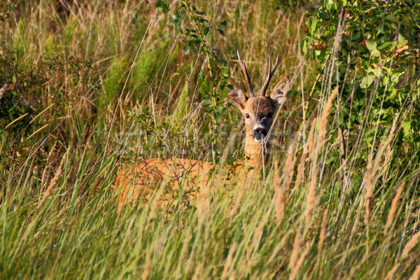 beautiful roe deer buck Stock photo © taviphoto