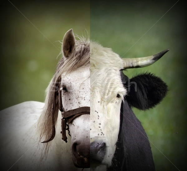 abstract montage of cow and horse heads Stock photo © taviphoto