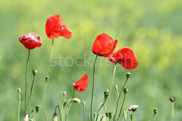 group of wild red poppies Stock photo © taviphoto