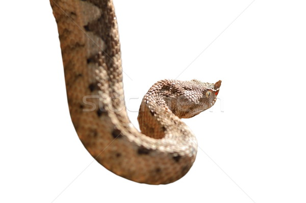 horned viper isolated over white Stock photo © taviphoto