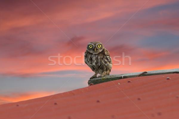 little owl on the roof Stock photo © taviphoto