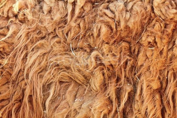 lama glama textured fur detail Stock photo © taviphoto