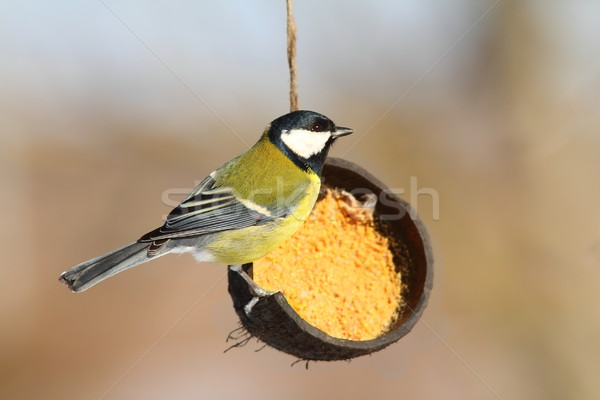 great tit on coconut lard feeder Stock photo © taviphoto
