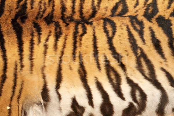 real tiger stripes on animal skin Stock photo © taviphoto