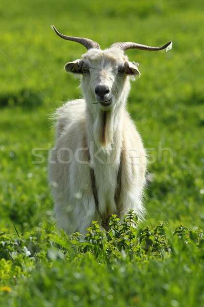 male goat on green lawn Stock photo © taviphoto