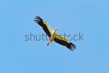 белый аистов полет Blue Sky фон красоту Сток-фото © taviphoto