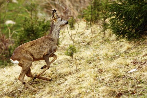 roe deer running Stock photo © taviphoto
