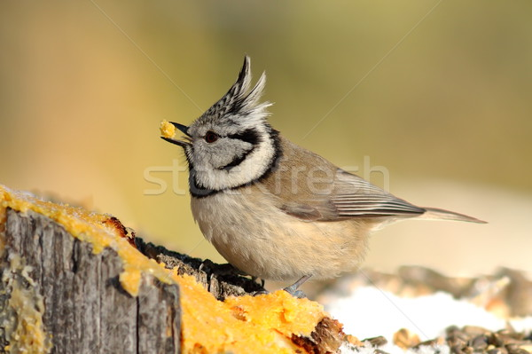 european crested tit eating lard in the garden Stock photo © taviphoto