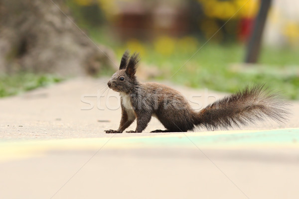 cute squirrel on park alley Stock photo © taviphoto