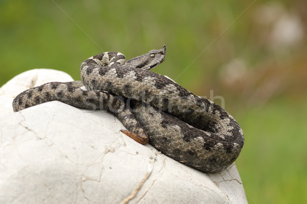 dangerous european viper standing on a stone Stock photo © taviphoto